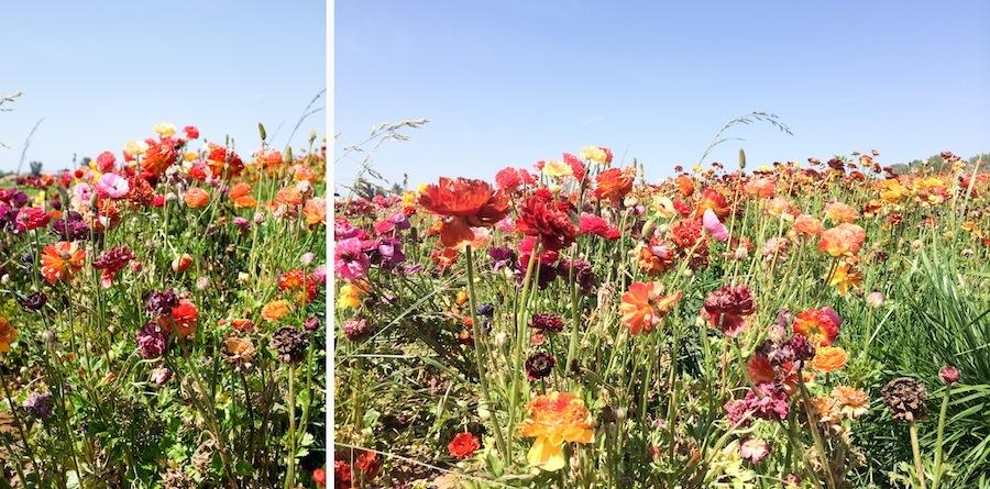 Carlsbad Flower Fields - Legal Miss Sunshine