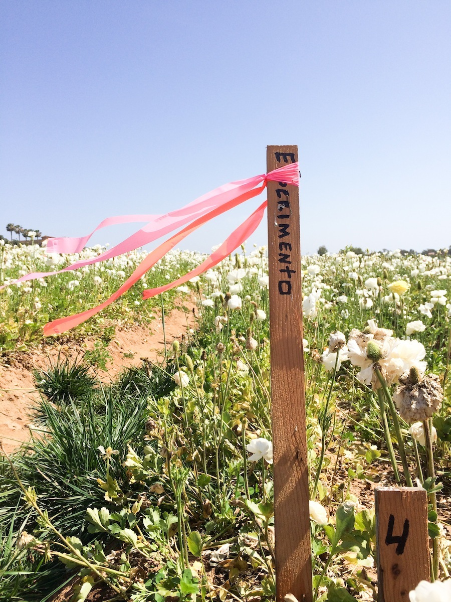 Carlsbad Flower Fields - Legal Miss Sunshine
