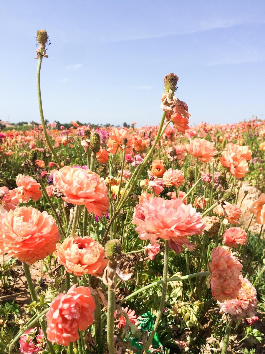 Carlsbad-Flower-Fields-Mission-San-Juan-Capistrano-Legal-Miss-Sunshine-98 copy