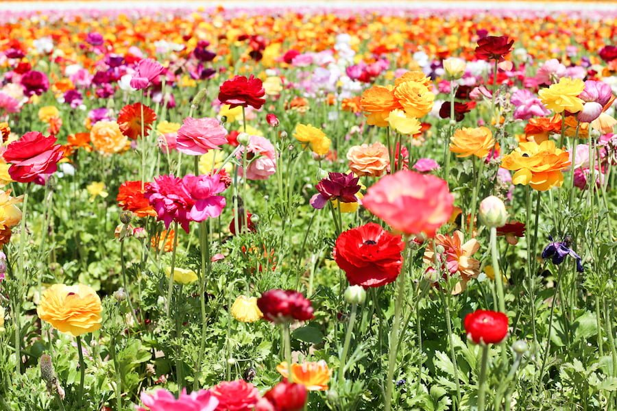 Carlsbad Flower Fields // Salty Canary