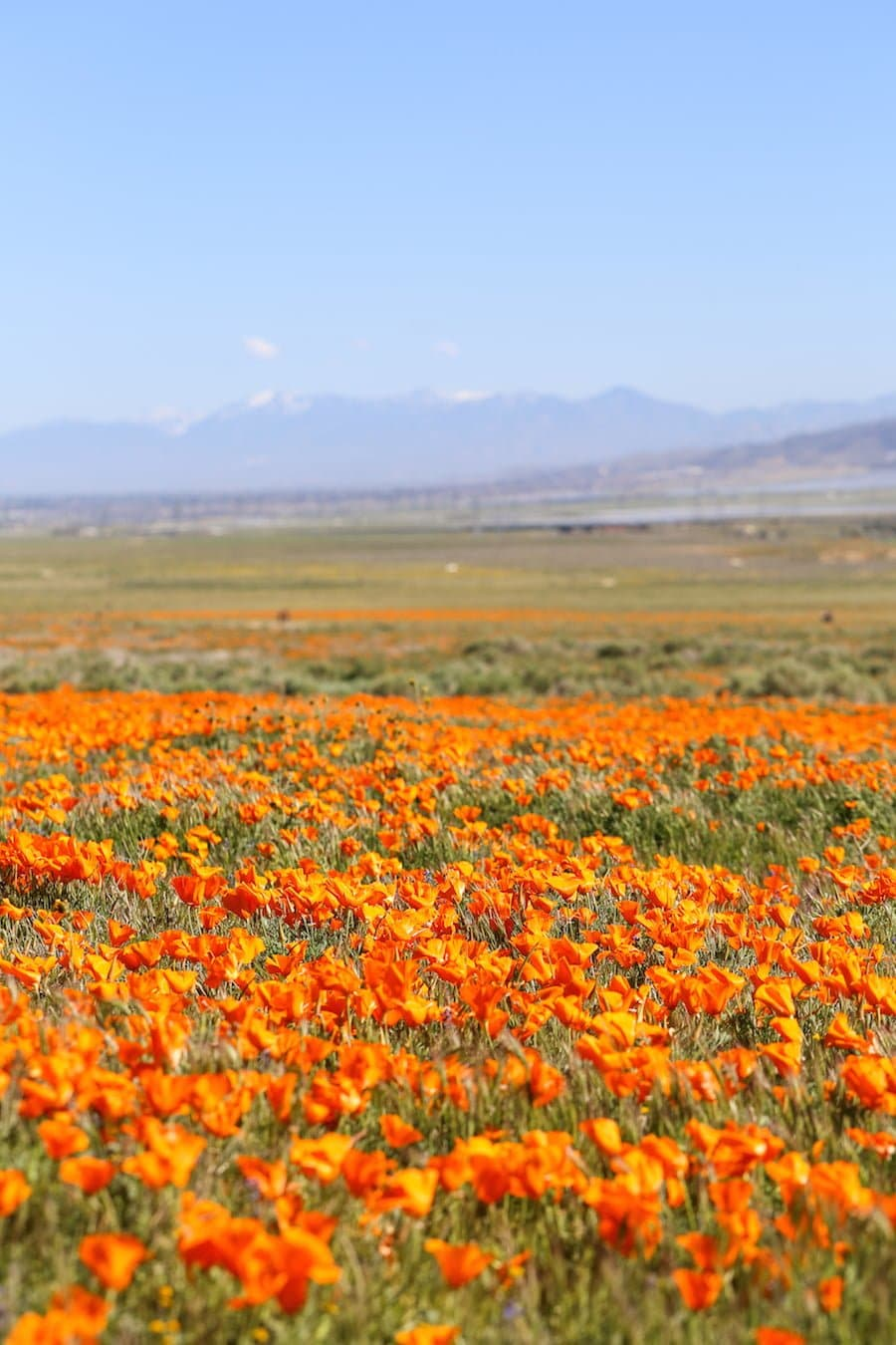 California Poppy Fields // Salty Canary