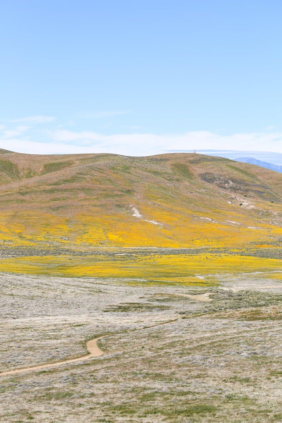 California Poppy Fields // Salty Canary