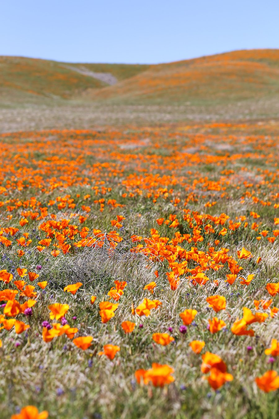 The Ultimate Southern California Spring Flower Fields Guide // Salty Canary