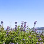 Lake Elsinore Lupine Wildflowers