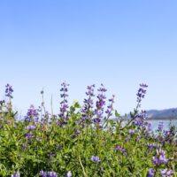 Lake Elsinore Lupine Wildflowers