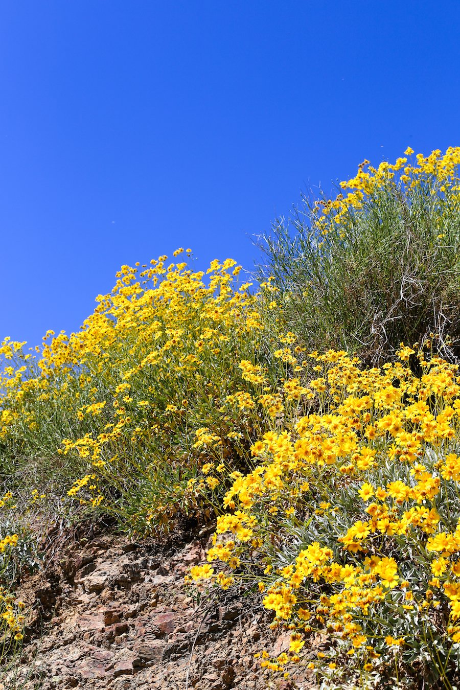 Lake Elsinore Lupine Wildflowers // Salty Canary
